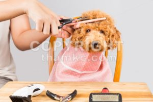 Concept of poodle dog fur being cut and groom in salon - ThamKC Royalty-Free Photos