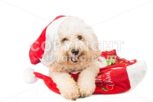 Smiling poodle dog in santa costume posing with Christmas ornaments. - ThamKC Royalty-Free Photos