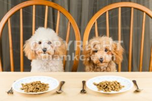 Two uninterested poodle puppies with their plate of kibbles on the dining table - ThamKC Royalty-Free Photos
