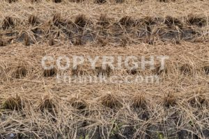 Brown paddy rice field after harvest - ThamKC Royalty-Free Photos