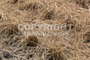Closeup of brown paddy stems after harvest - ThamKC Royalty-Free Photos