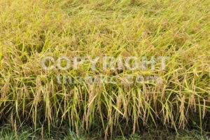 Closeup of golden yellow paddy rice ready for harvest - ThamKC Royalty-Free Photos