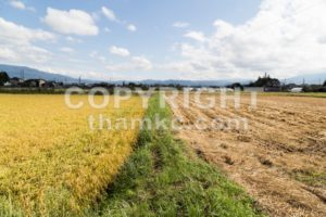 Comparison between golden paddy rice against barren brown harvested field - ThamKC Royalty-Free Photos