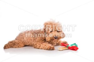 Dog with Christmas gift bone wrapped in ribbon - ThamKC Royalty-Free Photos