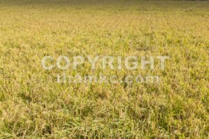 Golden yellow paddy rice field ready for harvest - ThamKC Royalty-Free Photos