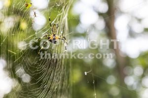 Spider with prey on web in nature - ThamKC Royalty-Free Photos