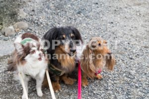Three cute purebred dogs posing - ThamKC Royalty-Free Photos