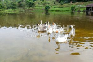 Flock of domestic geese swimming in lake - ThamKC Royalty-Free Photos
