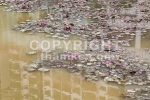 Dirty polluted pond with dying lotus water plant - ThamKC Royalty-Free Photos