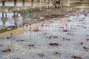 Dirty polluted pond with dying water lily plant - ThamKC Royalty-Free Photos
