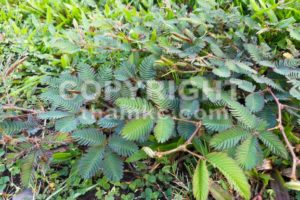Shameplant or mimosa pudica growing between grass - ThamKC Royalty-Free Photos