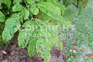 Tree leafs with holes with bites from insects, parasite, worms, snails - ThamKC Royalty-Free Photos