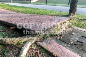 Tree with big roots destroy broke damage walkway pavement - ThamKC Royalty-Free Photos