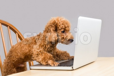 Smart brown poodle dog typing and reading laptop computer on table Stock Photo