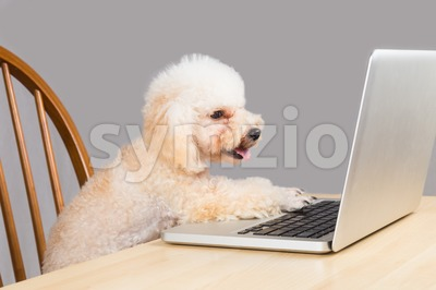 Smart beige poodle dog typing and reading laptop computer on table Stock Photo