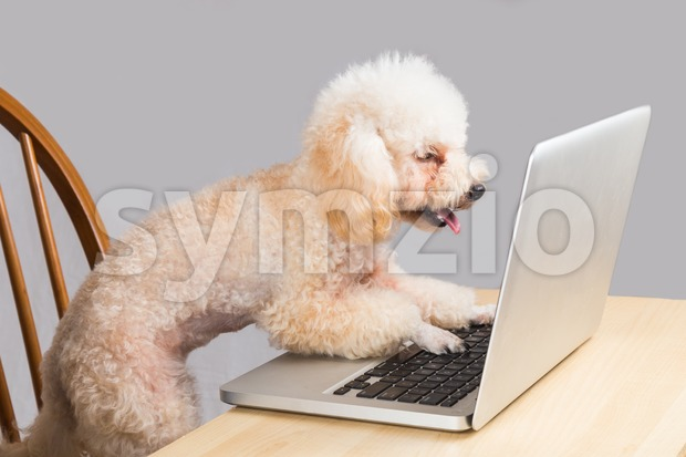 Smart beige poodle dog typing and reading laptop computer on table