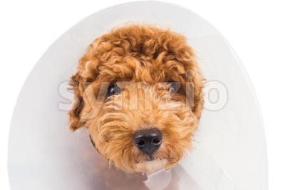 Sad poodle dog wearing protective cone collar on her neck Stock Photo