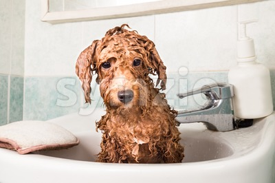 Wet poodle puppy taking bath on wash basin Stock Photo