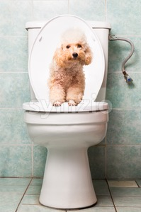 Concept of smart poodle dog pooping into toilet bowl Stock Photo