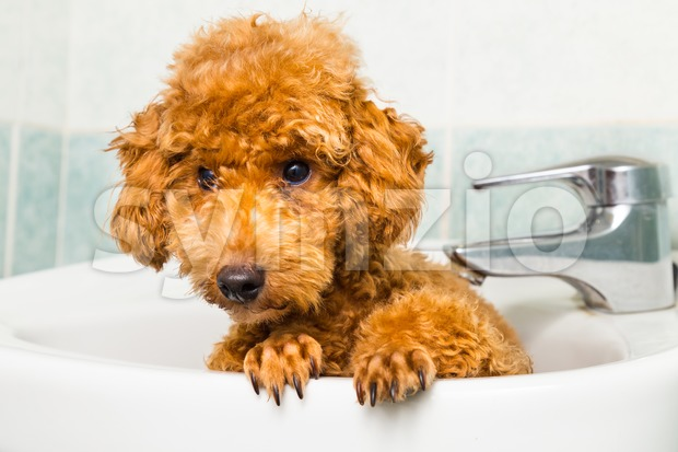Curious and adorable brown poodle puppy getting ready for bath in wash basin Stock Photo