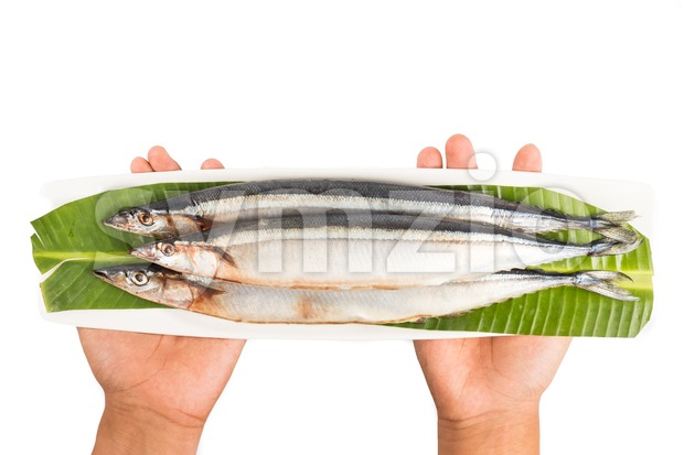 Hand holding seasonal fresh Japanese Sanma fish on placed on plate
