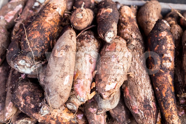 Heaps of freshly harvested tapioca roots Stock Photo