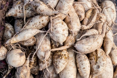 Heaps of freshly harvested yellow skin sweet potatoes roots Stock Photo