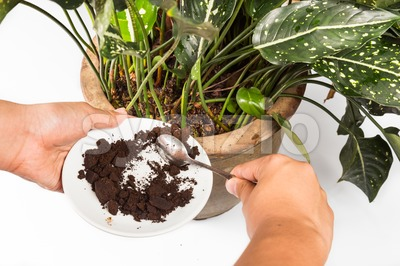 Spent grounded coffee applied onto potted plant as natural fertilizer Stock Photo