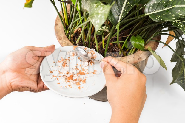 Crushed egg shell fed onto potted plant as natural fertilizer Stock Photo