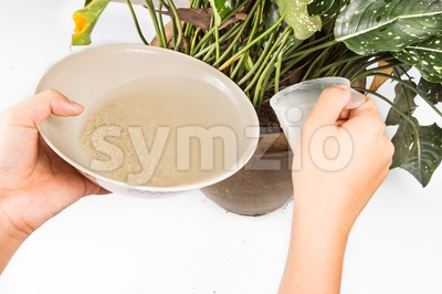 Water from rice rinse being used as natural fertilizer on potted plant Stock Photo