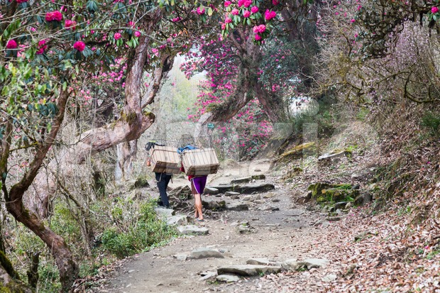 People trekking through a scenic trail with Rhododendron flower in Nepal Stock Photo