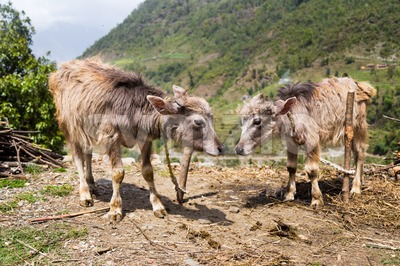 Two calf cows at a highland village in Nepal Stock Photo