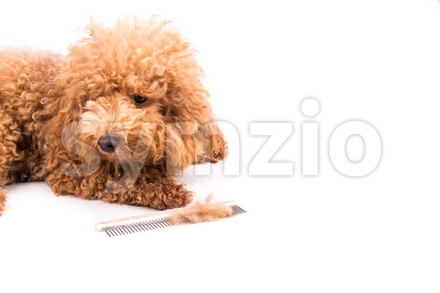 Brown curly poodle dog after combing, with de-tangled fur stuck on comb