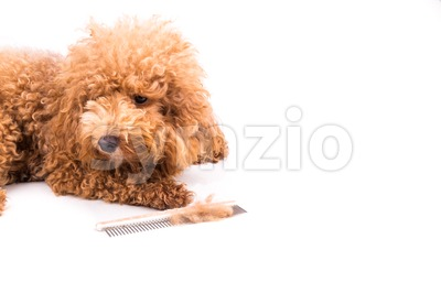 Poodle dog after combing, with  de-tangled fur stuck on comb Stock Photo