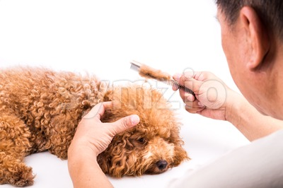 Groomer combing dog, with de-tangled fur stuck on comb Stock Photo