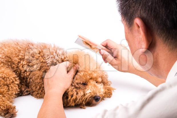 Groomer combing and brushing dog, with de-tangled fur stuck on comb