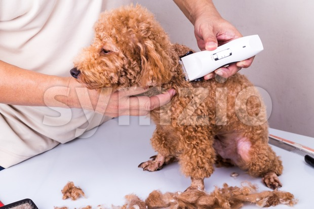 Groomer grooming poodle dog with trim clipper in salon Stock Photo