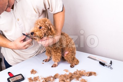 Groomer grooming poodle dog with scissor in salon Stock Photo