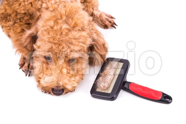 Poodle dog after brushing with  detangled fur stuck on brush Stock Photo