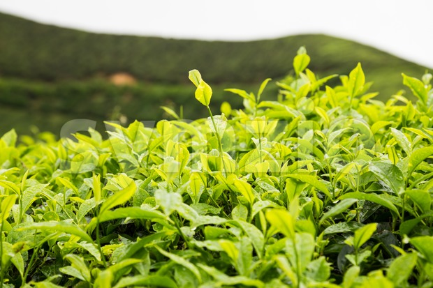 Highland tea plantation with focus on the tea leafs shoots Stock Photo