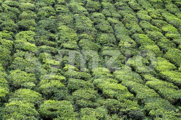 Serene and scenic tea plantation hilly terrace at Cameron Highlands Stock Photo