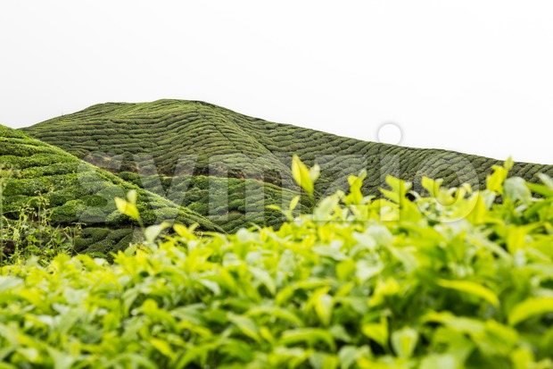 Highland tea plantation with focus on the tea leafs shoots and with plantation terrace in background