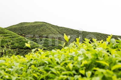 Highland tea plantation with focus on the tea leafs shoots and with plantation terrace in background Stock Photo
