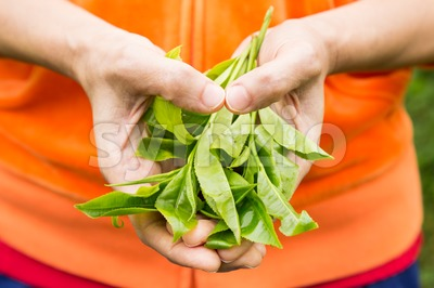 Model hands holding freshly harvested tea leafs shoots in the shape of the heart. Stock Photo
