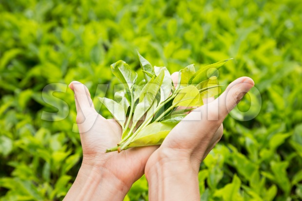 Showing freshly harvested tea leafs on both palms. Tea is high in anti-oxidant and is good for health.