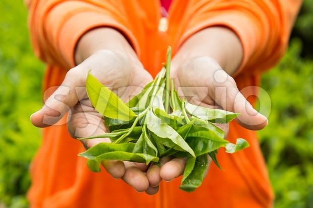 Showing freshly harvested tea leafs on both palms. Tea is high in anti-oxidant and is good for health. Stock Photo