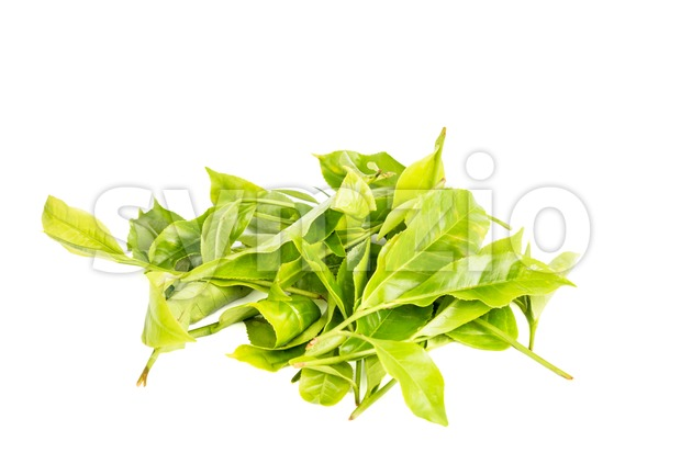 A pile of young tea leafs shoots with white background Stock Photo