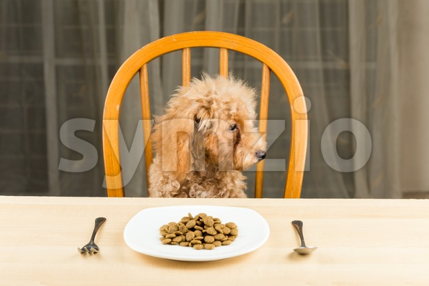 A bored and uninterested Poodle puppy looking away from her plate of kibbles on the dining table