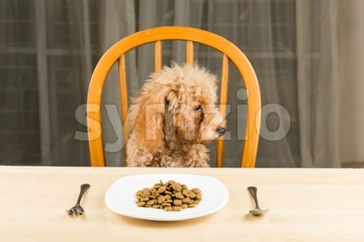 A bored and uninterested Poodle puppy looking away from her plate of kibbles on the dining table Stock Photo