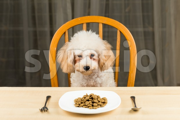 A bored and uninterested Poodle puppy with a plate of kibbles on the dining table Stock Photo